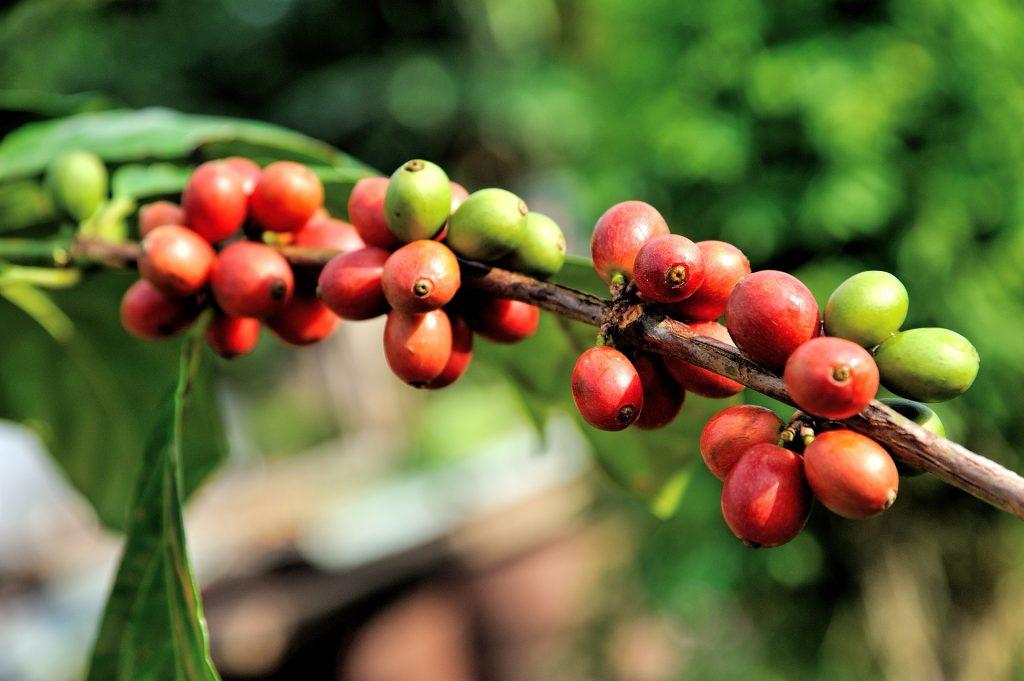 咖啡豆品種 阿拉比卡 羅布斯塔
