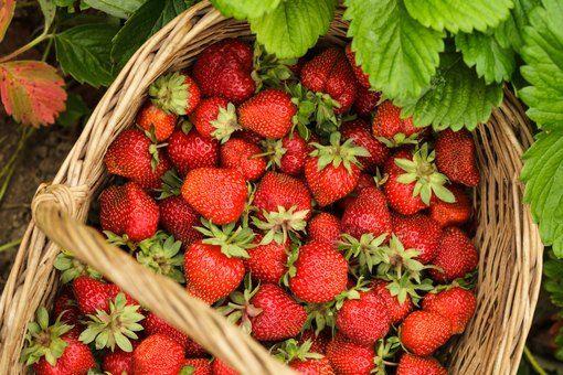 哪裡可以採草莓?北部 3 大草莓園推薦:內湖、關西、大湖|2019 草莓季