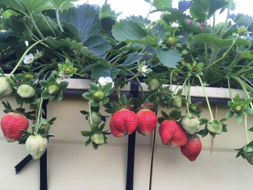 大湖六合草莓