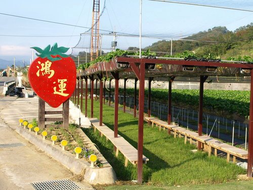 鴻運高架草莓