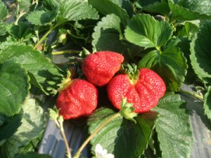 巧合草莓園採草莓