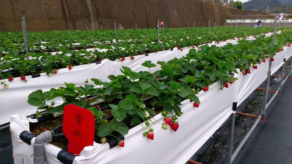 紅色琉璃瓦草莓園