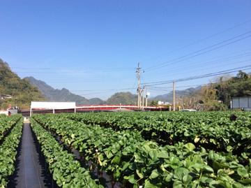 阿雪草莓園