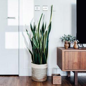 室內植栽虎尾蘭