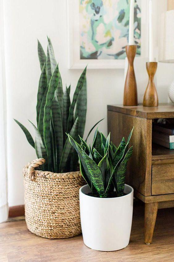 室內植物虎尾蘭