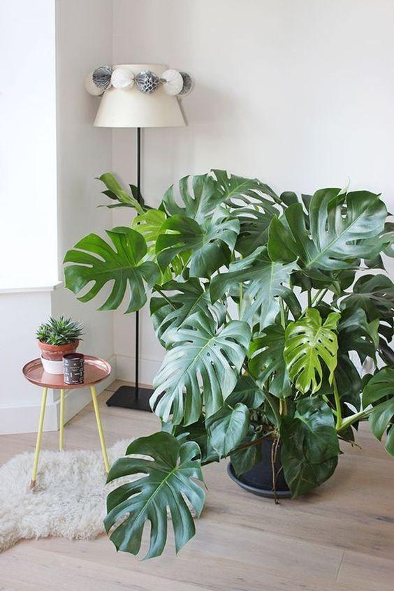 室內植栽龜背芋