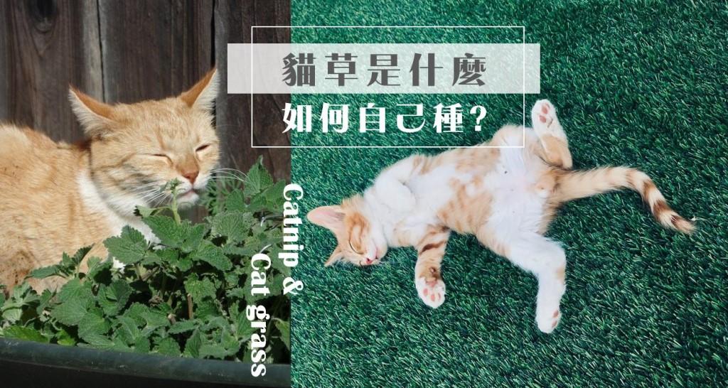 貓草種植|貓草作用是什麼,多久吃一次?與貓薄荷的種類差異?